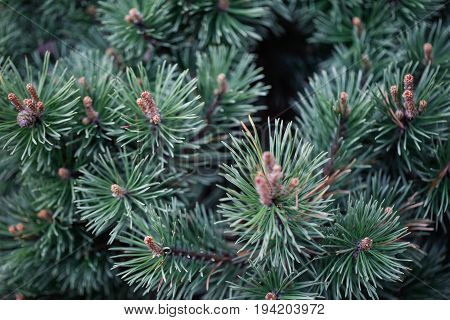 Macro close-up of beautiful evergreen pinetree branches with green shoots with grass and field flowers. Eco environment. Plants and nature.
