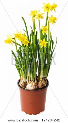 daffodils in a flower pot isolated on a white