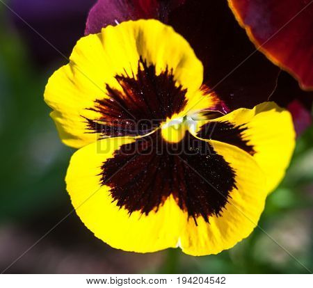 Yellow vinous pansy flowers (Viola tricolor). Close-up.