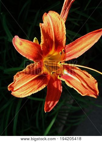 Lily, flower Lily. Natural background.  Lily. Floral print. Floral background.Garden flower. Orange flower.