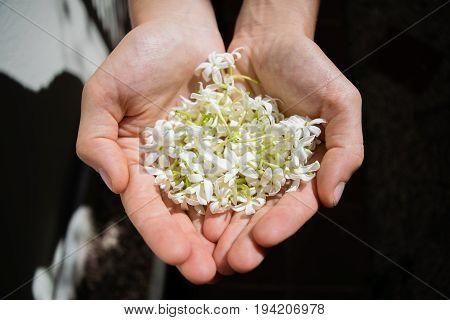 Jasmine flowers in the hands. Azores Jasmine (Jasminum azoricum)