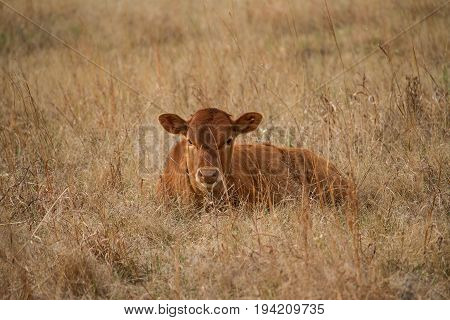 Texas Longhorn Cattle calf laying in a pasture