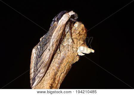 Privet hawk-moth (Sphinx ligustri) in profile on black. Large British hawk moth in the family Sphingidae at risk on dead wood