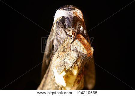 Privet hawk-moth (Sphinx ligustri) head on on black. Large British hawk moth in the family Sphingidae at risk on dead wood