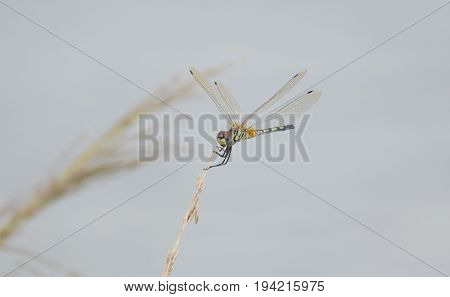 A Dragonfly is as insect belonging to the order Odonata, infraorder Anisoptera.