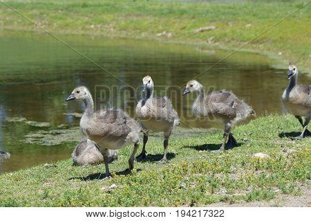 Geese at the lake during the summer