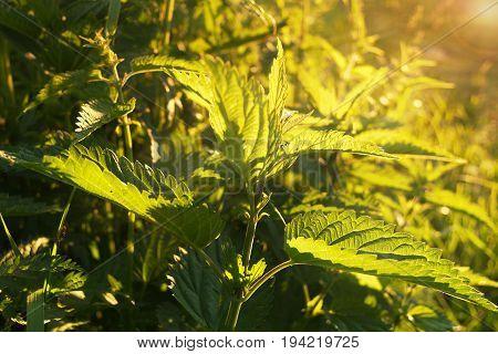 Juicy nettle in the sun on a meadow, sunset