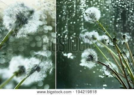 Dandelions and rain. Sadness, despondency loneliness concept