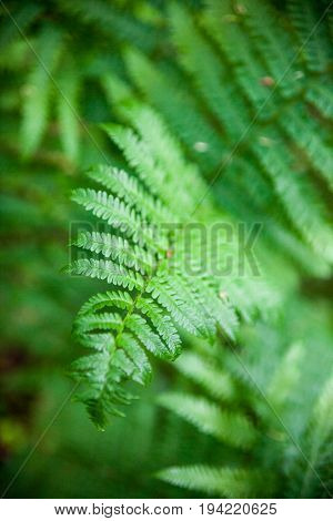 Fern (Pteridophyte) green leaves in the spring forest. Close-up.