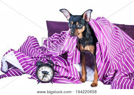 Sleepy puppy in bed wrapped in blanket. The concept of good morning. Puppy in bed in the morning. Toy Terrier