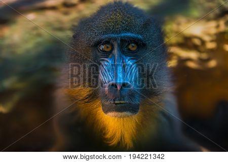 Portrait Of African Mandrill In The Open Resort