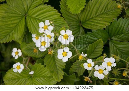 Growing Berries In The Garden. Strawberry Flowers And  Immature Berries On The Stems.