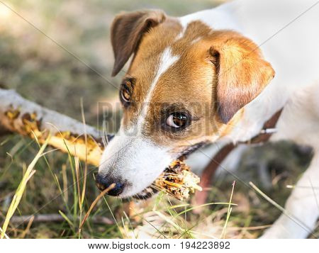 Portrait of a dog gnawing a branch of a tree