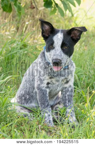 Texas Heeler puppy sitting in the shade of a tree looking to the left of the viewer