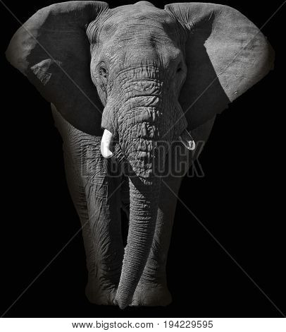 Abstract black and white portrait of a huge African elephant