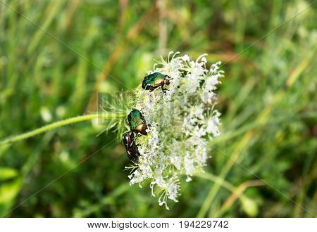 Three dung-beetles on wild flower summer scene.