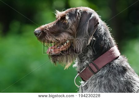 german wirehaired pointer on green blurred background