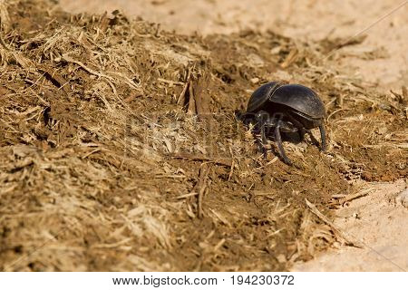 Dung beetle burrowing into some dry old elephant dung on a hot summers day