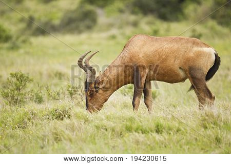 Beautiful red Haartebeest grazing in long lush green grass