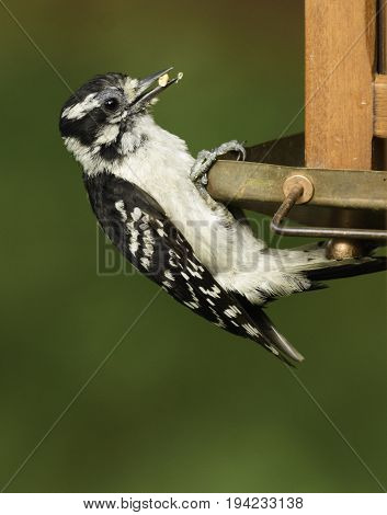 A Downy Woodpecker (Picoides pubescens) clutching on to a bird feeder as it eats the seeds it holds.  Photographed in Andover Township, New Jersey, USA.