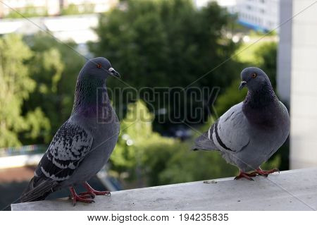 Two funny feral pigeons (city pigeons) on a window sill.