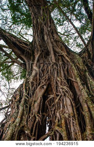 Very Huge, Giant Tree With Roots And Green Leaves In The Philippines, Negros Island, Kanlaon.