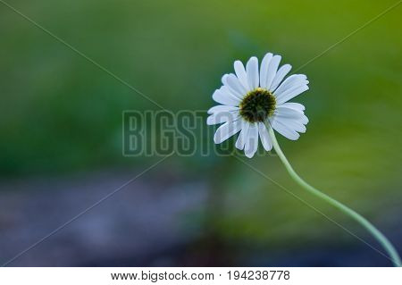 Always look straight ahead / Daisy in the macrophotography