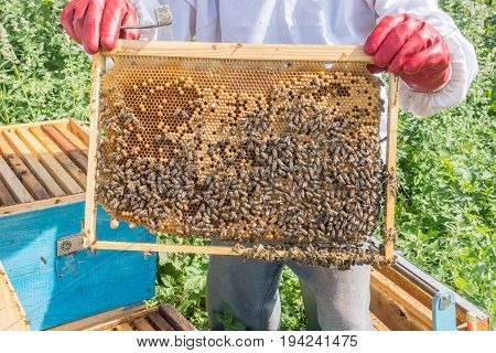 The Beekeeper Keeps A Frame With Larvae Of Bees . Honeycombs Are Developing Larvae Of Bees Future Ge