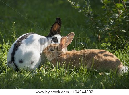 two rabbits in the garden - felame and male