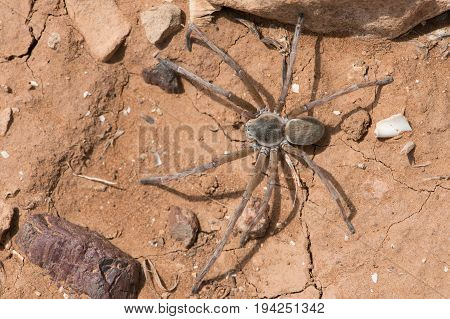 Wolf Spider (Lycosidae) on cracked dry desert earth