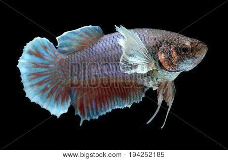 Colorful  Waver Of Female  Betta Saimese Fighting Fish