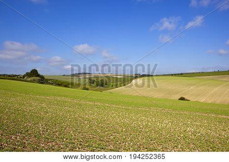 Burdale Pea Crop