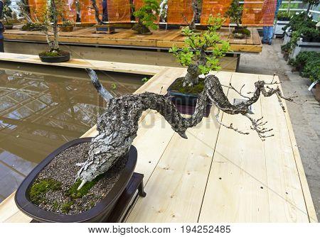 Downy Oak  - Bonsai In The Style Of