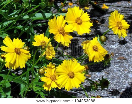 Yellow daisies in High Park of Toronto Canada July 3 2017