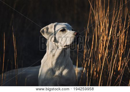 young cute labrador retriever dog puppy in a cornfield by golden dark sunset