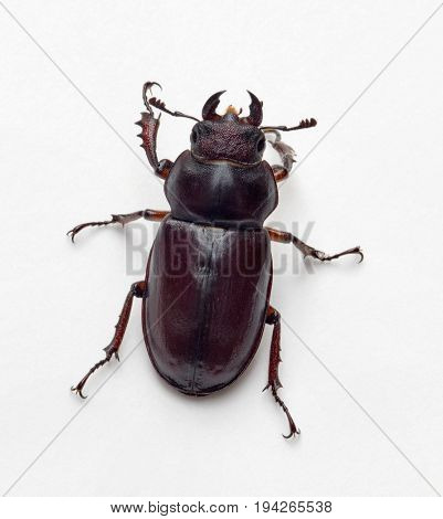 Female Stag Beetle, Top View