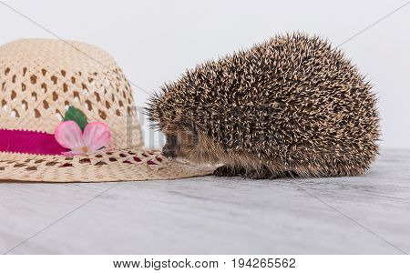 Cute hedgehog on a table with hat