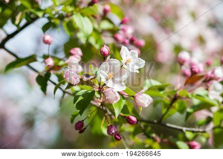 Spring flowering apple-tree with a pink inflorescence on a sunny day