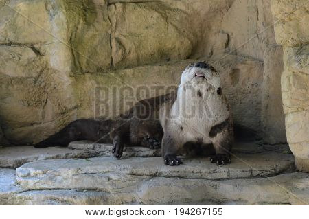 A river otter crawling on a rock