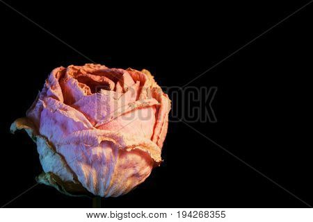single withered rose flower on black background