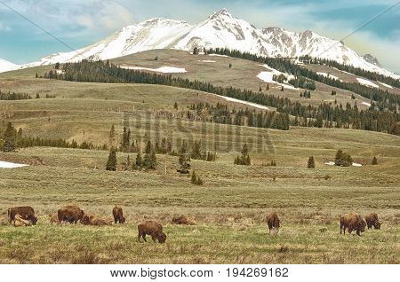 American bison (Bison bison) in front of a steaming geyser in Yellowstone National Park Wyoming USA