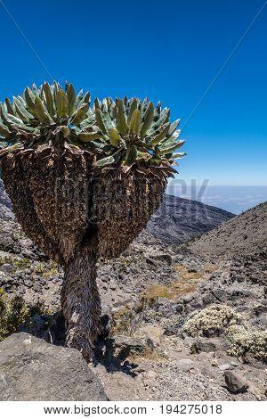 Senecio plant in Machame route to Kilimanjaro peak Tanzania