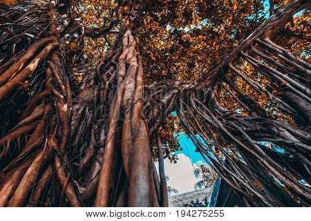 Wide angle shooting from bottom of huge Indian fig tree or banyan with multiple thick and long branches which became roots and trunks with time big old leaves crown on the top Maldives Lhohifushi