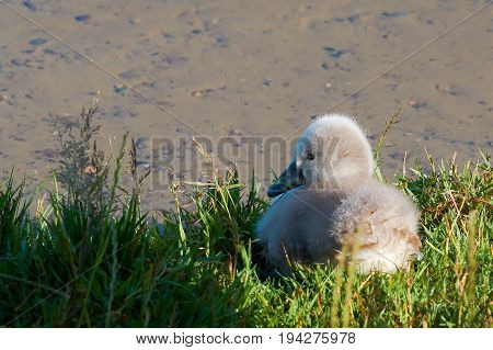 Young swan at a lake in Mueritz National Park in Germany
