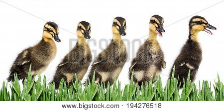 ducklings ( indian runner duck) isolated on white background