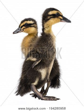 two ducklings ( indian runner duck) isolated on a white background