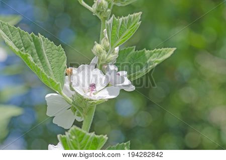 Marshmallow Flower And Leaf