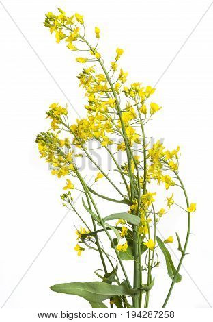 a rapeseed flowers isolated on a white