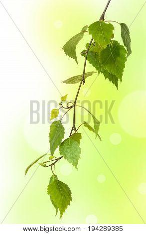 a fresh birch branch - close up
