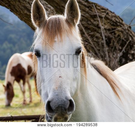 Close up of a white or grey horse looking directly into the lens making a connection with the viewer as it grazes with a piebald companion in a meadow standing in front of a tree trunk